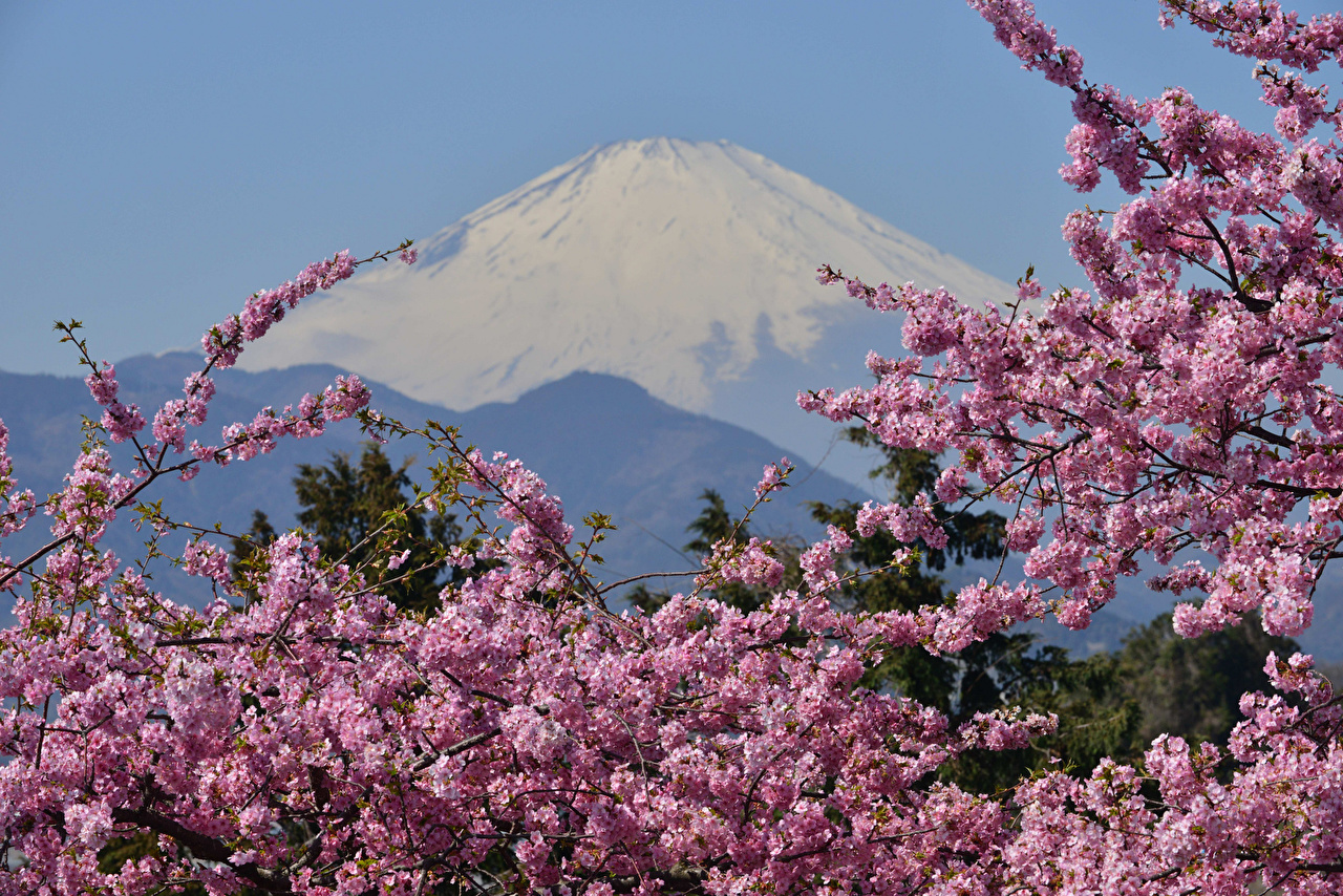 Pictures Mount Fuji Japan Sakura Volcano Nature Flowering Trees