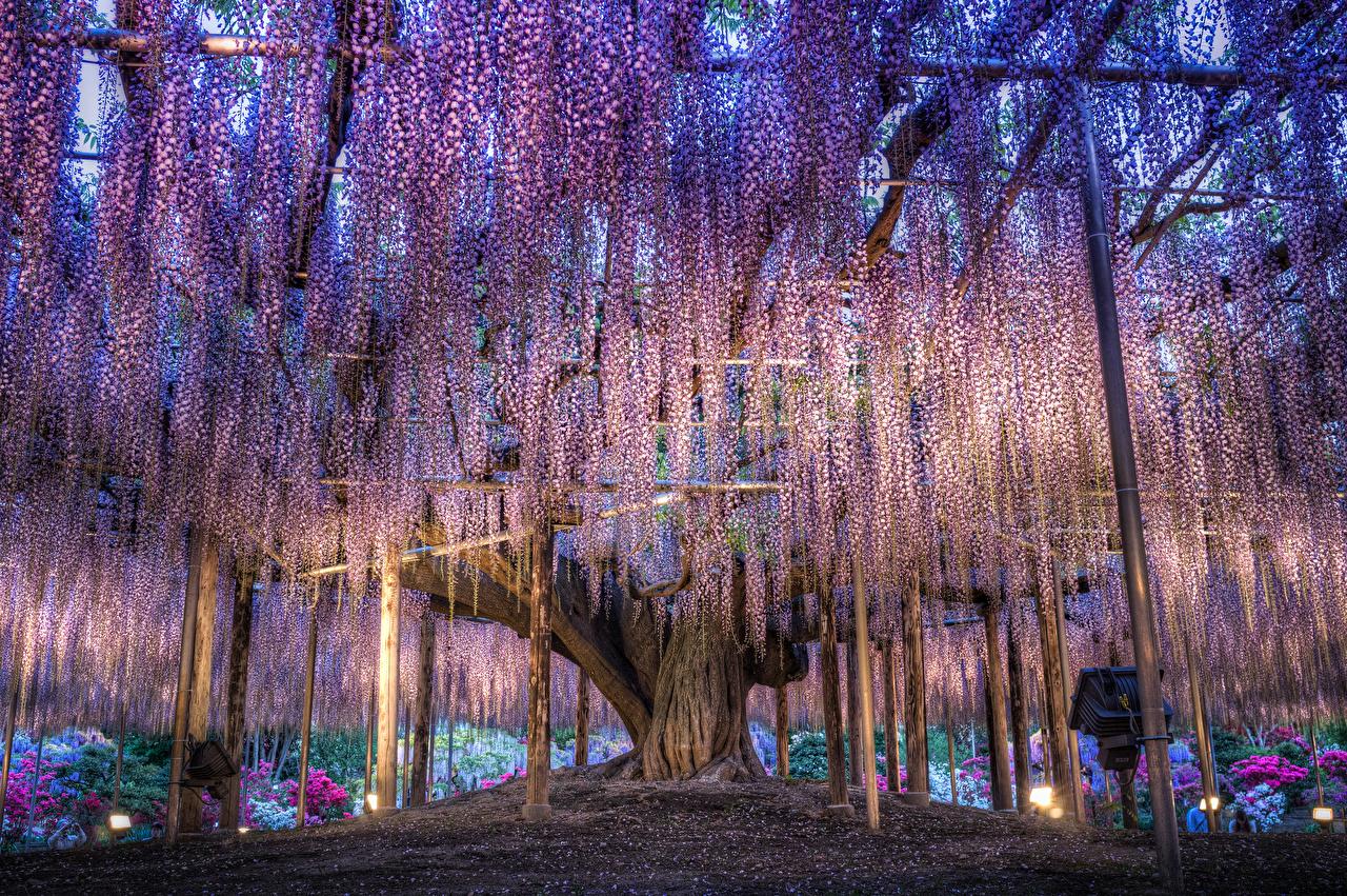 Fotos Japan Tochigi Park Blumen Blauregen Wisterie