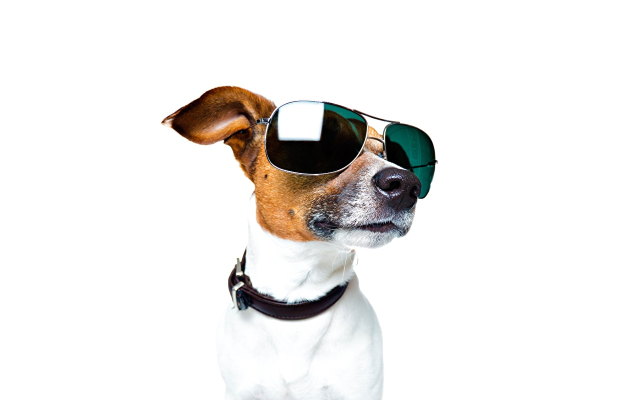 Image Jack Russell terrier Dogs Snout eyeglasses Head animal White background dog Glasses Animals