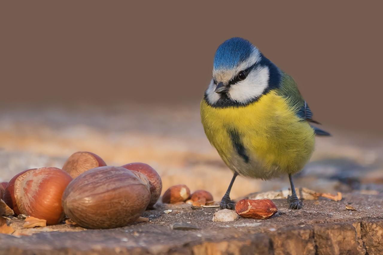 Bilder Meise Vögel Tiere Nahaufnahme Schalenobst Vogel parus meisen hautnah ein Tier Großansicht Nussfrüchte