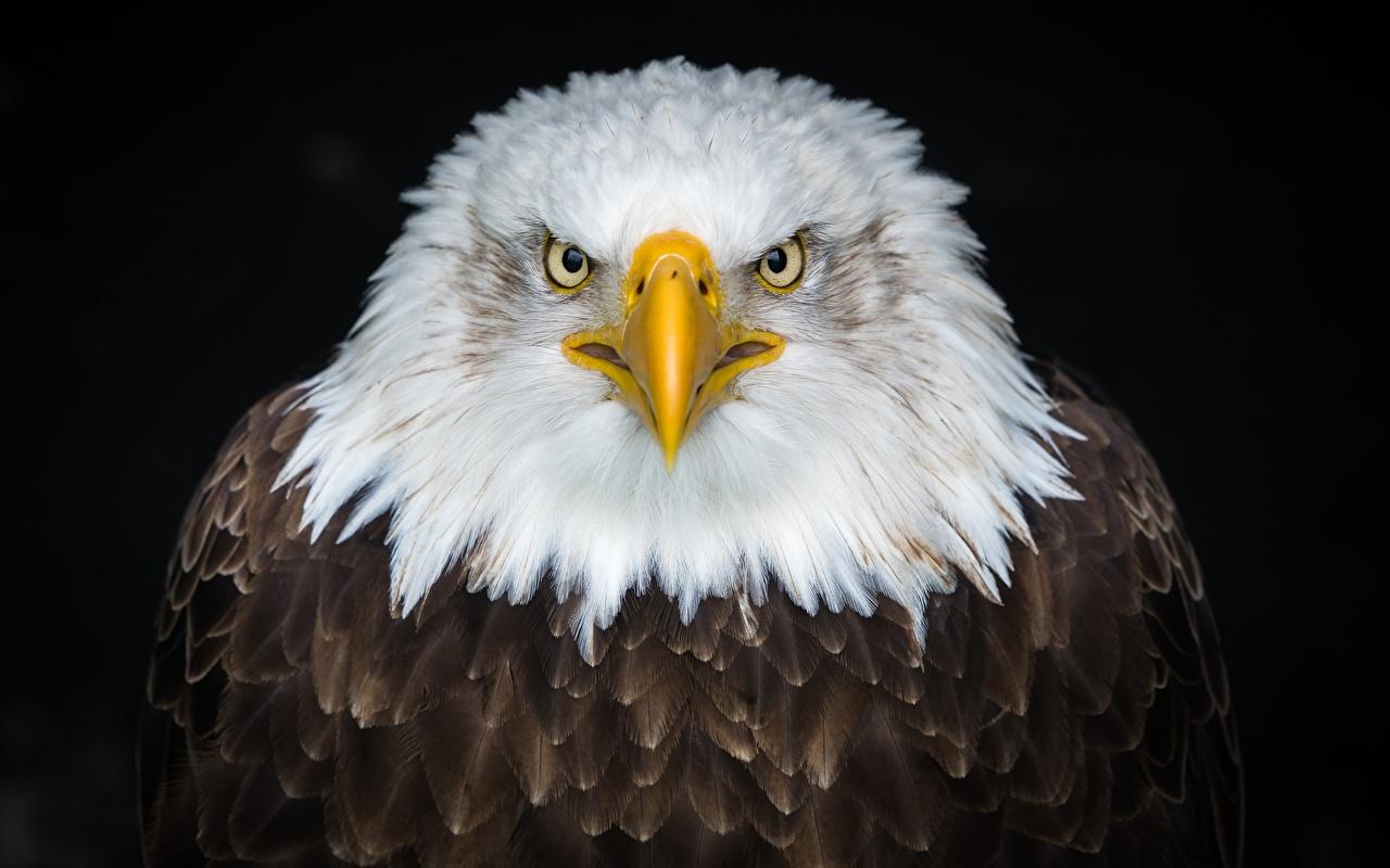 Photos Bald Eagle Birds Eagles Animals Black background bird eagle animal