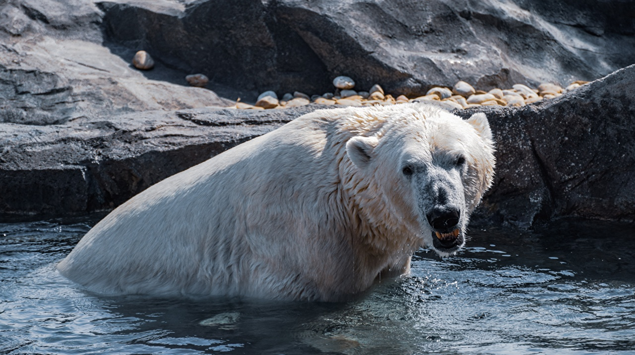 Pictures Polar bears Bears Roar Water Wet Animals bear angry animal