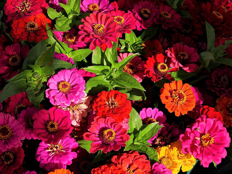 Desktop Hintergrundbilder Bunte Blumen Zinnien hautnah Mehrfarbige Blüte Nahaufnahme Großansicht