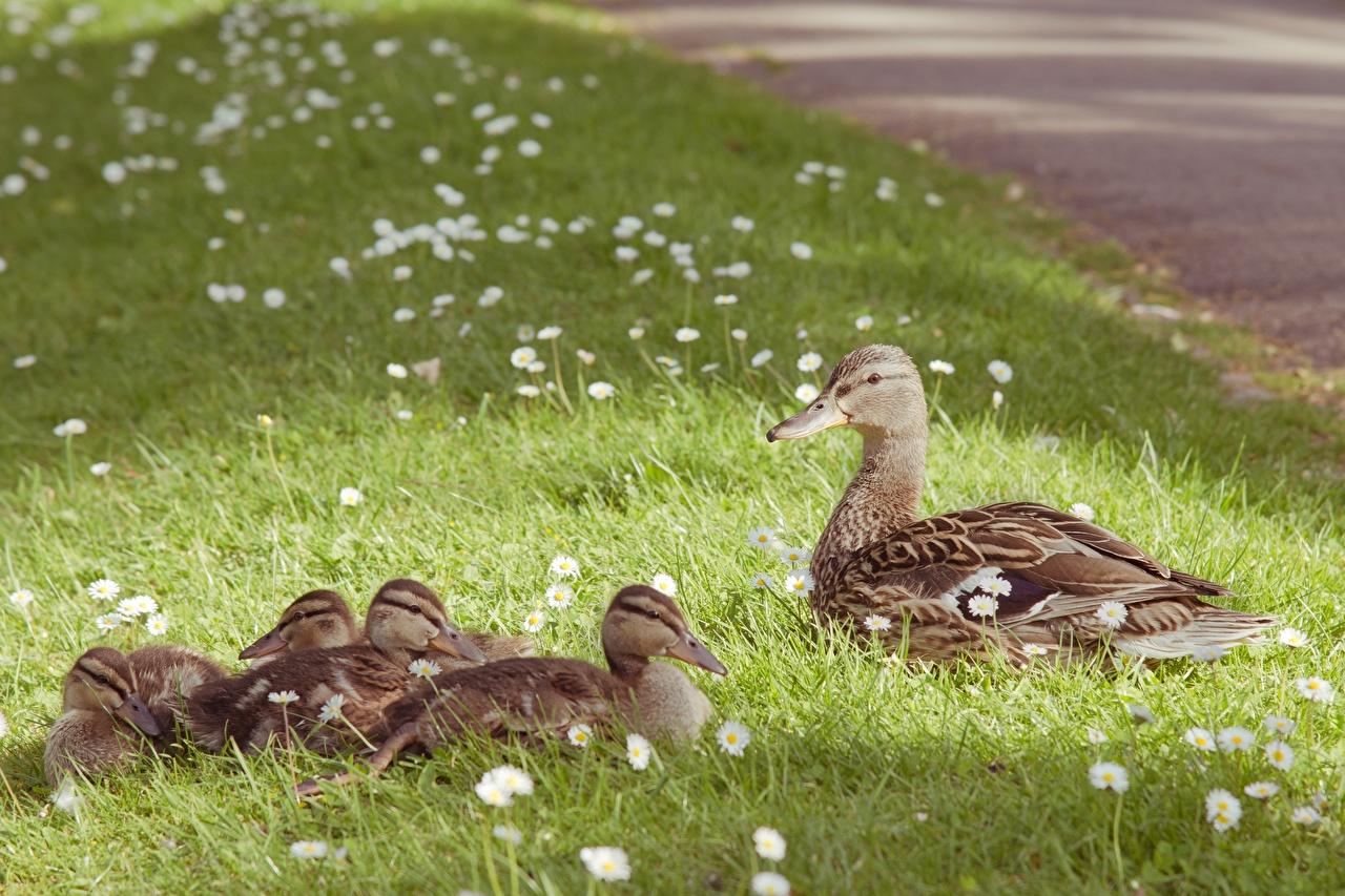 Bilder von Vögel Entenvögel Kücken Gras ein Tier Ente Vogel Küken Tiere