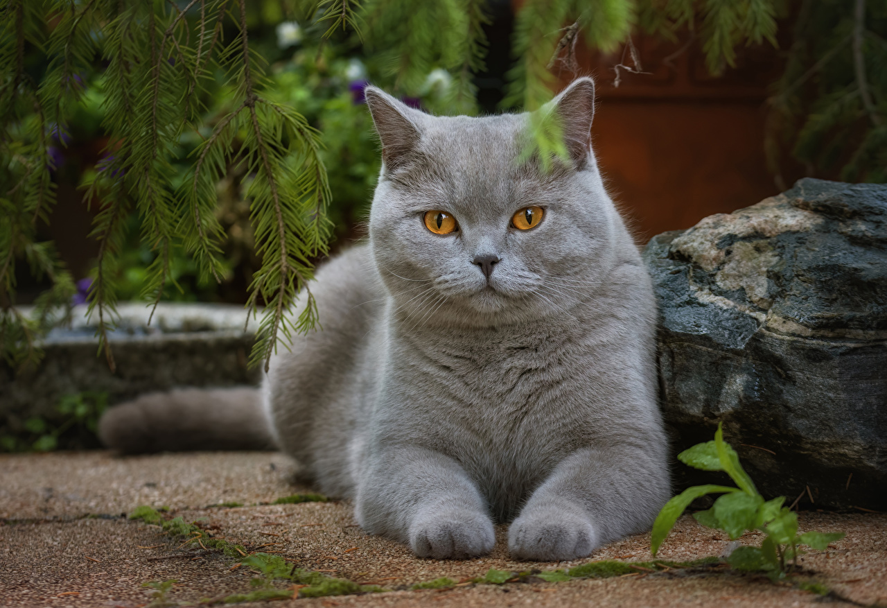 Images Cats Grey Paws Glance Animals cat gray animal Staring