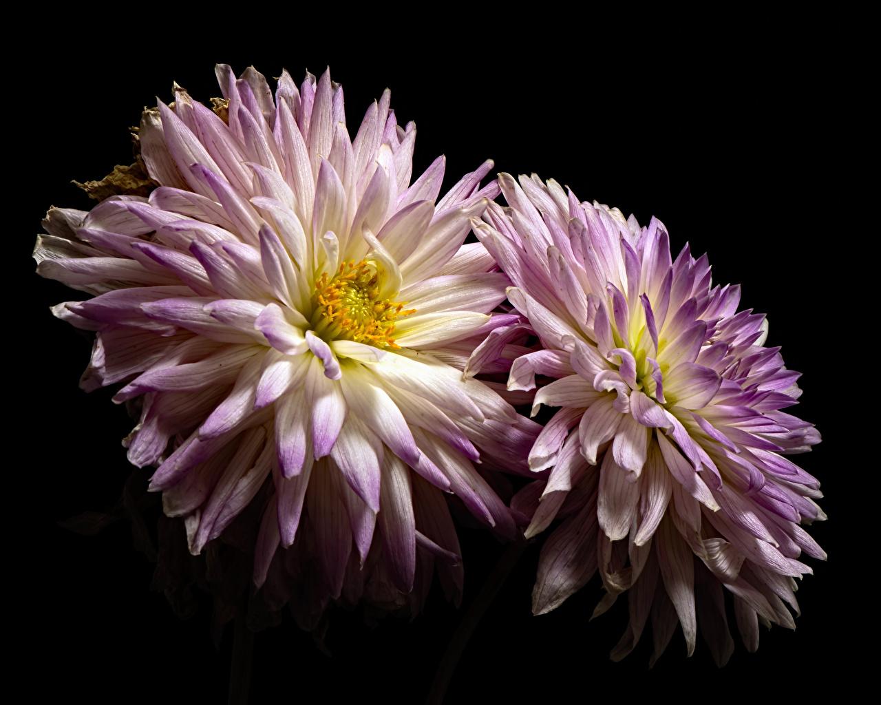Foto 2 Blumen Chrysanthemen Großansicht Schwarzer Hintergrund Zwei Blüte hautnah Nahaufnahme