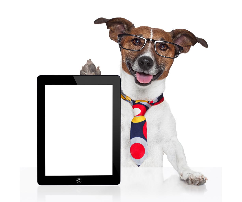 Chien Tablette tactile Fond blanc Jack Russell Terrier Lunettes Cravate Gabarit carte de voeux un animal, chiens Animaux