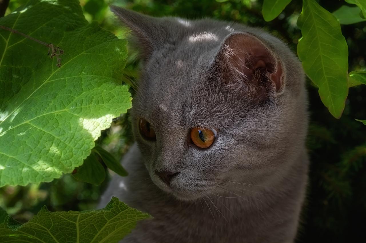 Fotos von Katzenjunges Katze Grau Schnauze Starren ein Tier Kätzchen Katzen Hauskatze graue graues Tiere Blick
