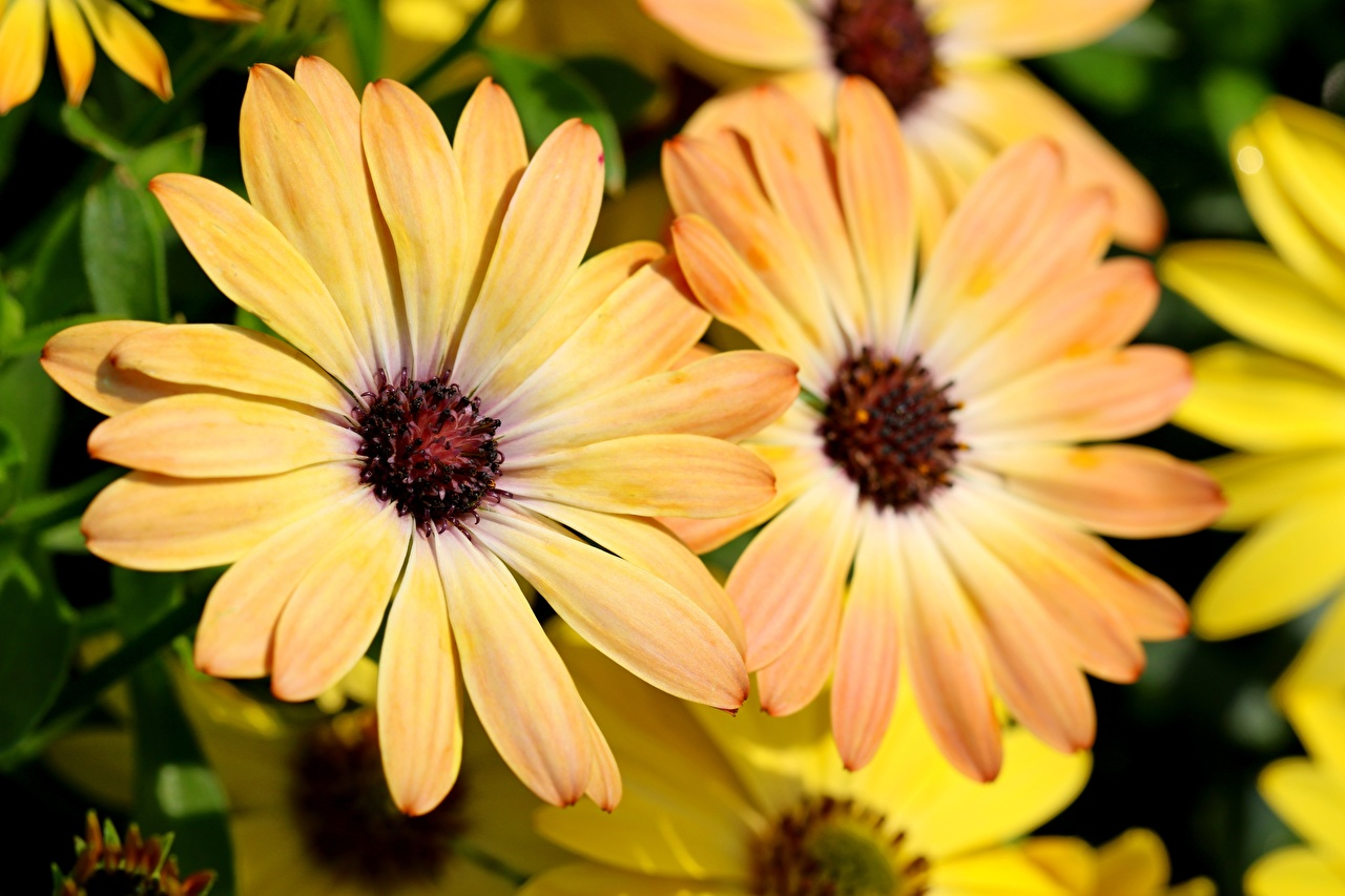 Фото боке Остеоспермум Желтый Цветы вблизи Размытый фон желтая желтые желтых цветок Крупным планом