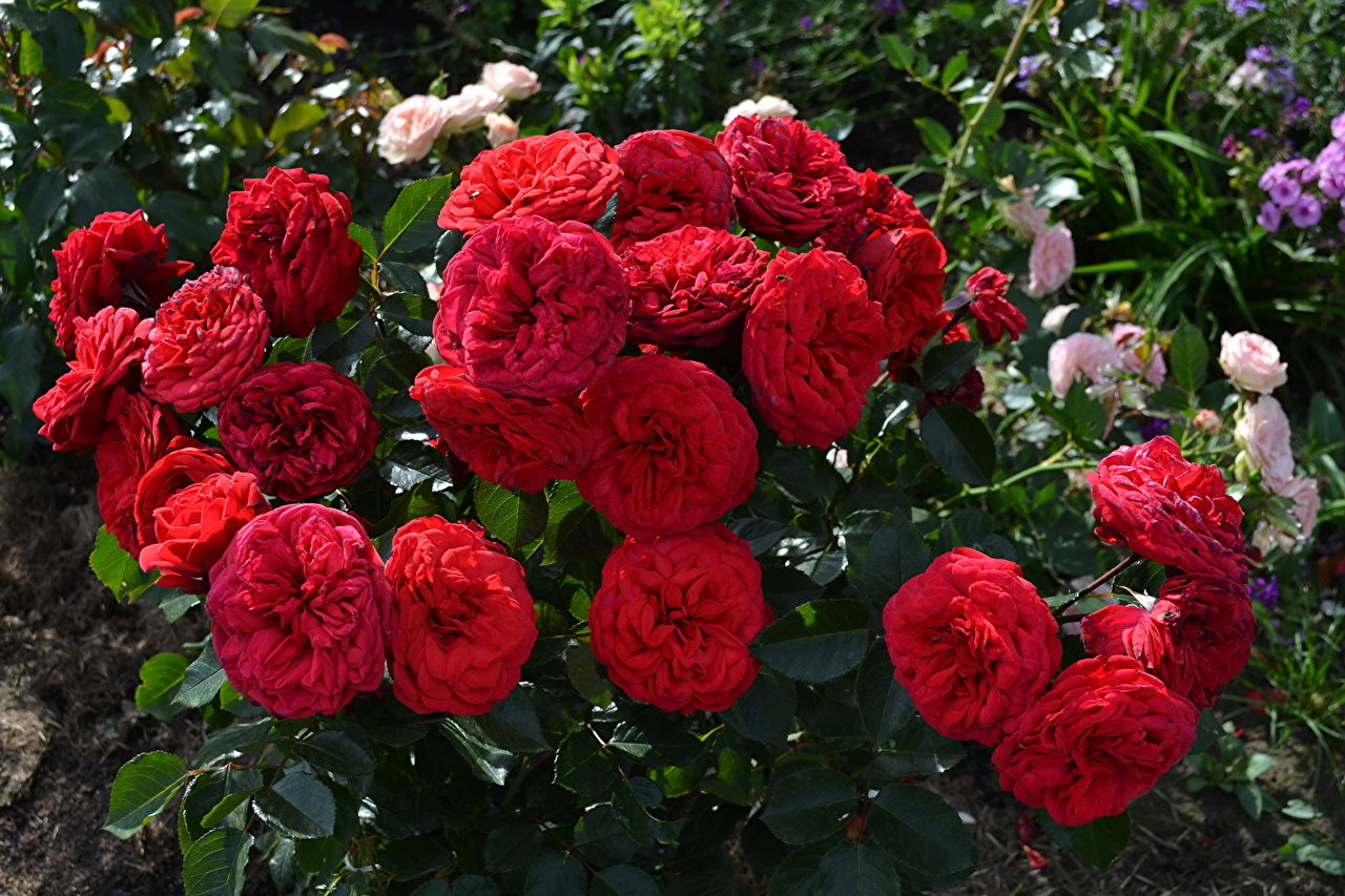 Desktop Wallpapers Red rose Flowers Roses flower
