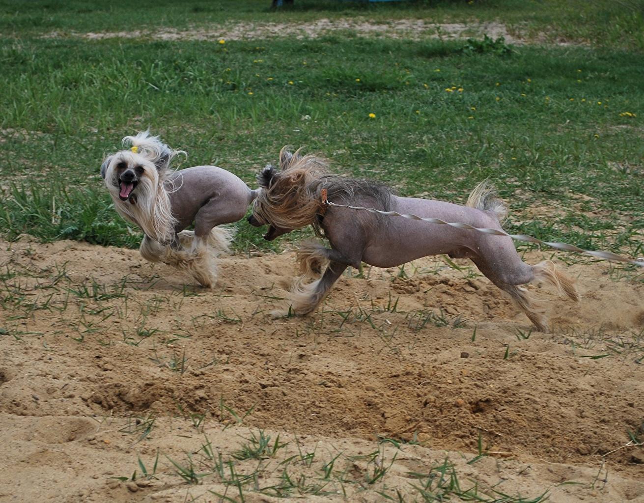 Foto nudo cinese Cani che corre Due 2 Arena animale Cane crestato cinese cane Corsa Sabbia Animali