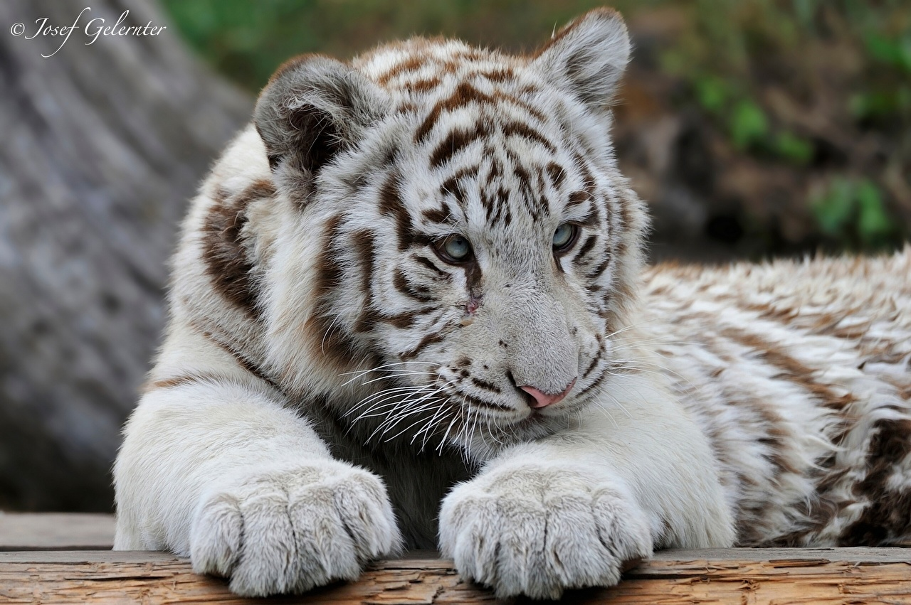 Pictures Tigers Big cats Cubs White Paws Animals tiger animal