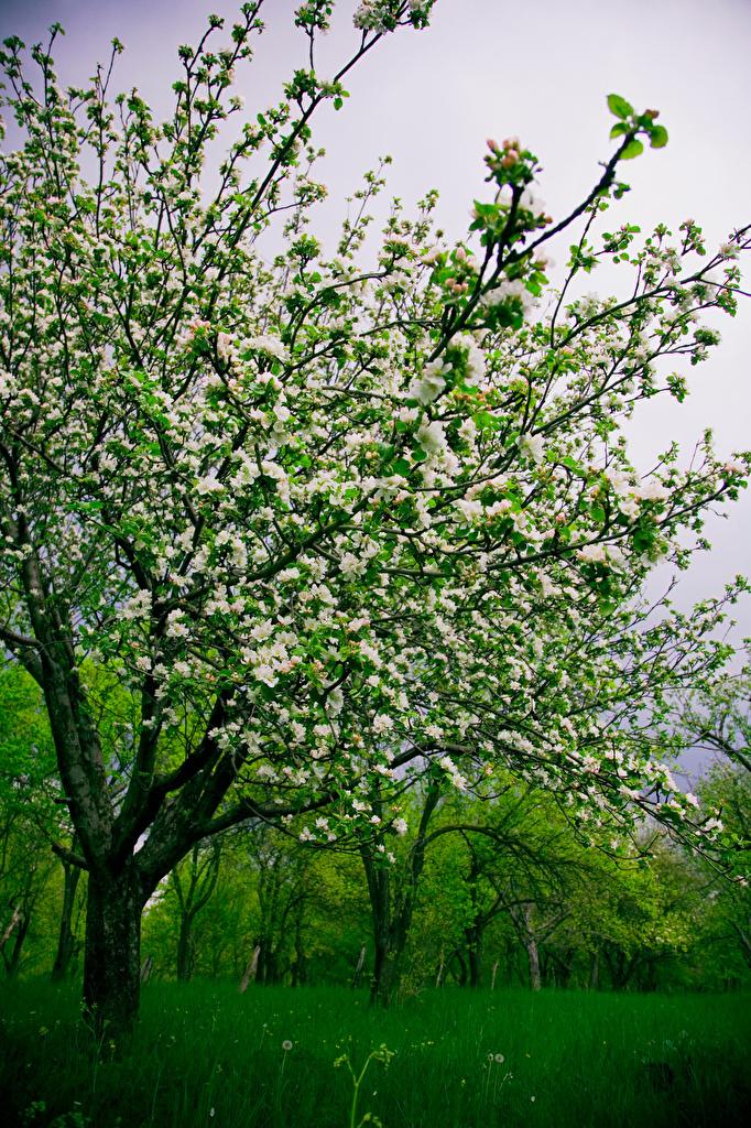 Desktop Wallpapers Nature Spring Grass Flowering trees  for Mobile phone