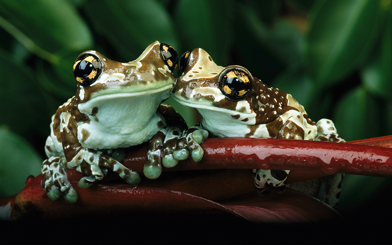 Desktop Wallpapers Frogs 2 Animals