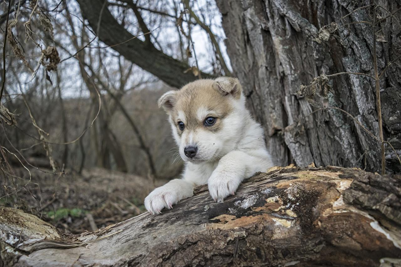 Photos Husky Puppy Dogs Paws Animals puppies dog animal