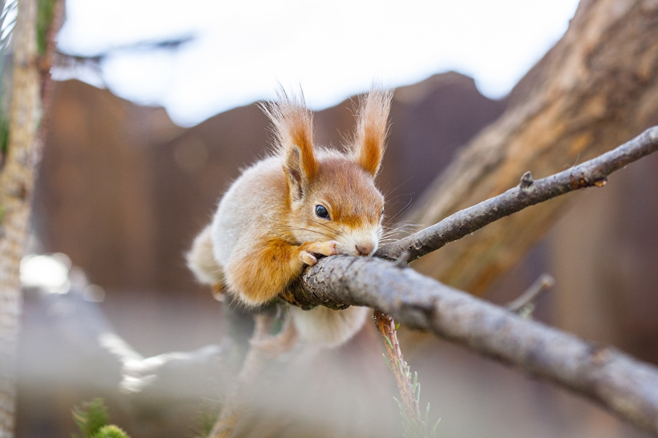 Bilder von Eichhörnchen ruhen unscharfer Hintergrund Ast ein Tier Hörnchen Liegt Liegen hinlegen Bokeh Tiere