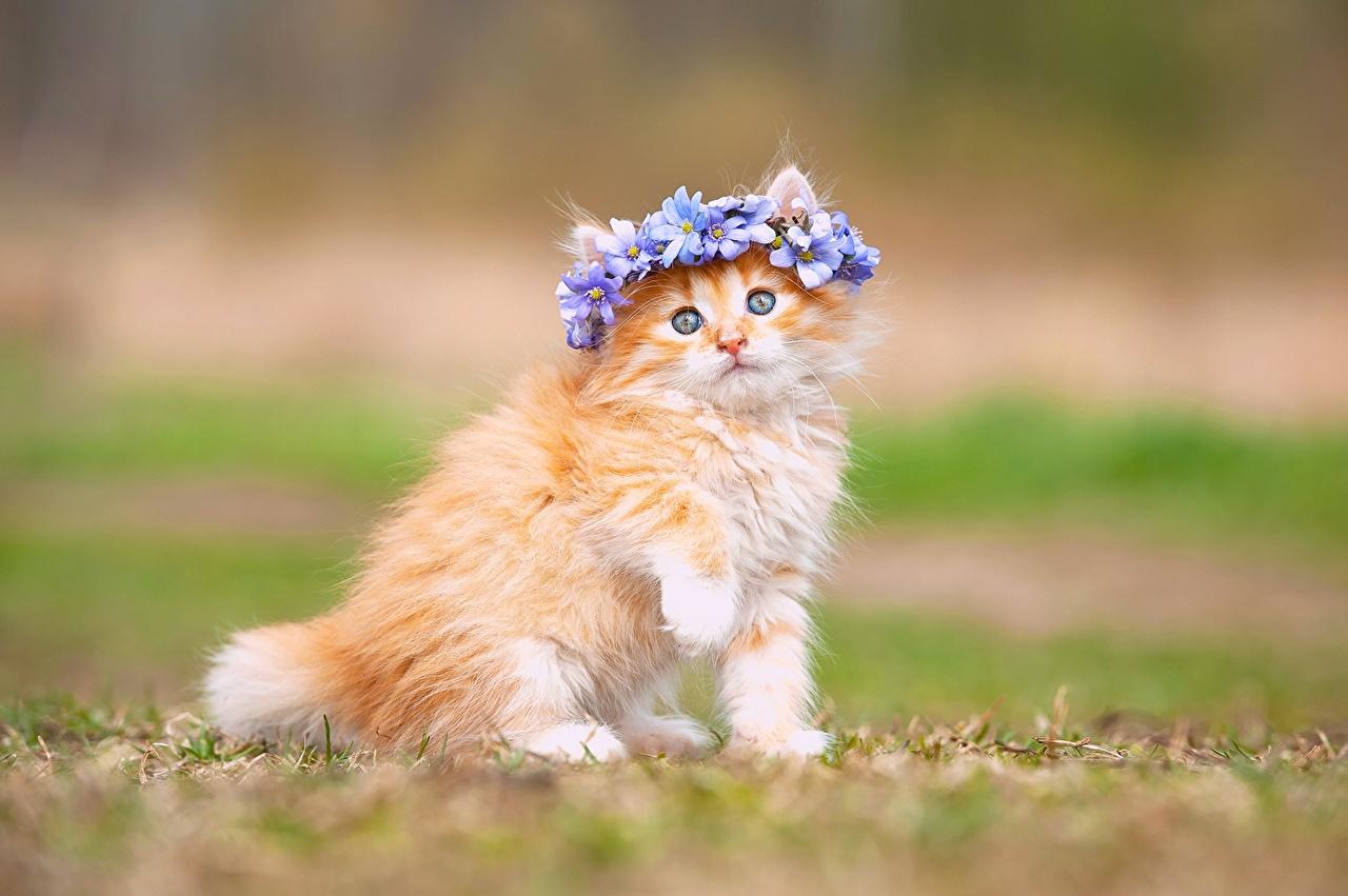 Images Kittens Cat Red Orange Animals