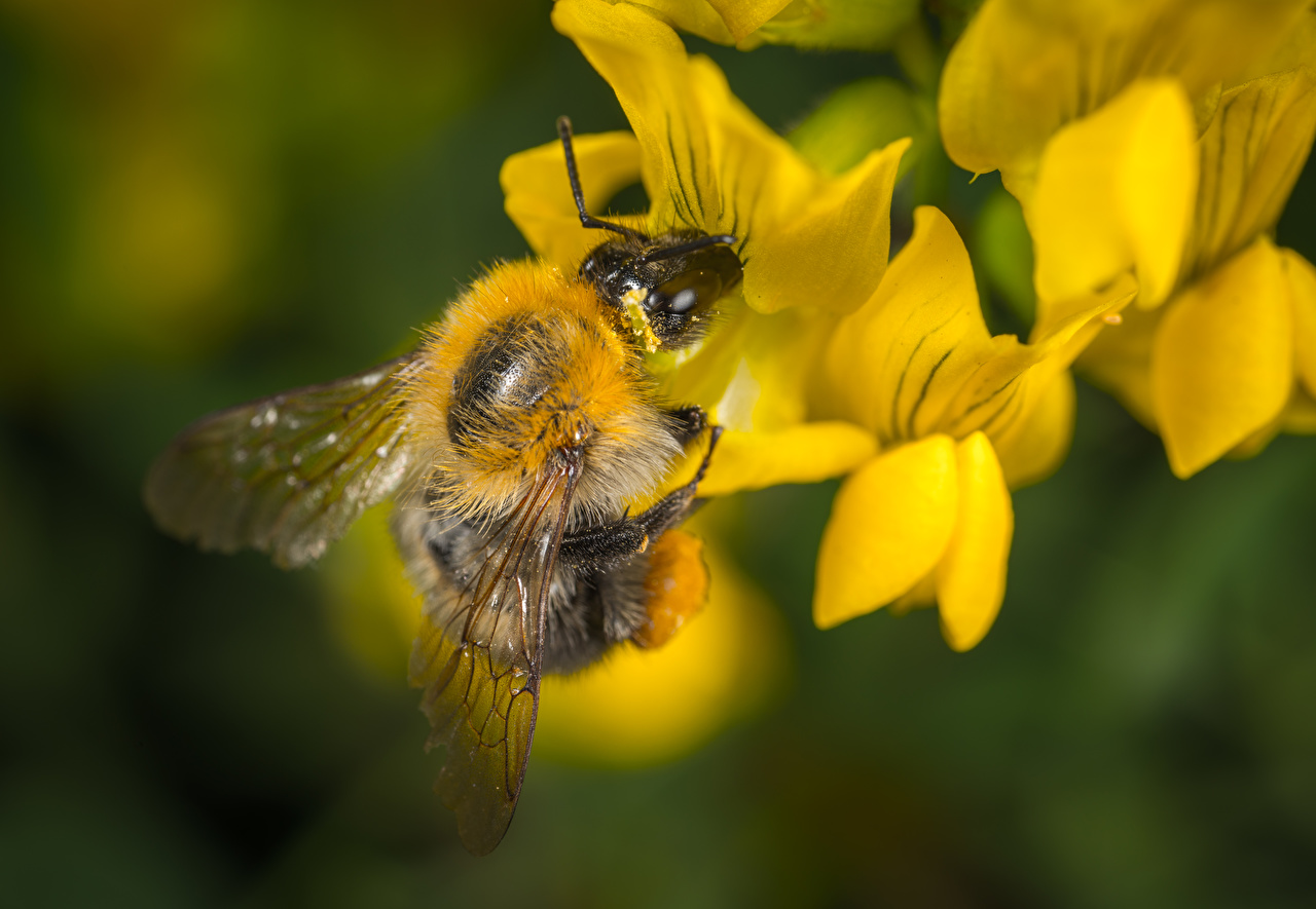 Foto Bienen Insekten unscharfer Hintergrund hautnah ein Tier Bokeh Tiere Nahaufnahme Großansicht