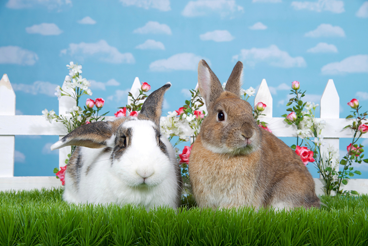 Pictures rabbit Two rose Grass Animals Rabbits 2 Roses animal