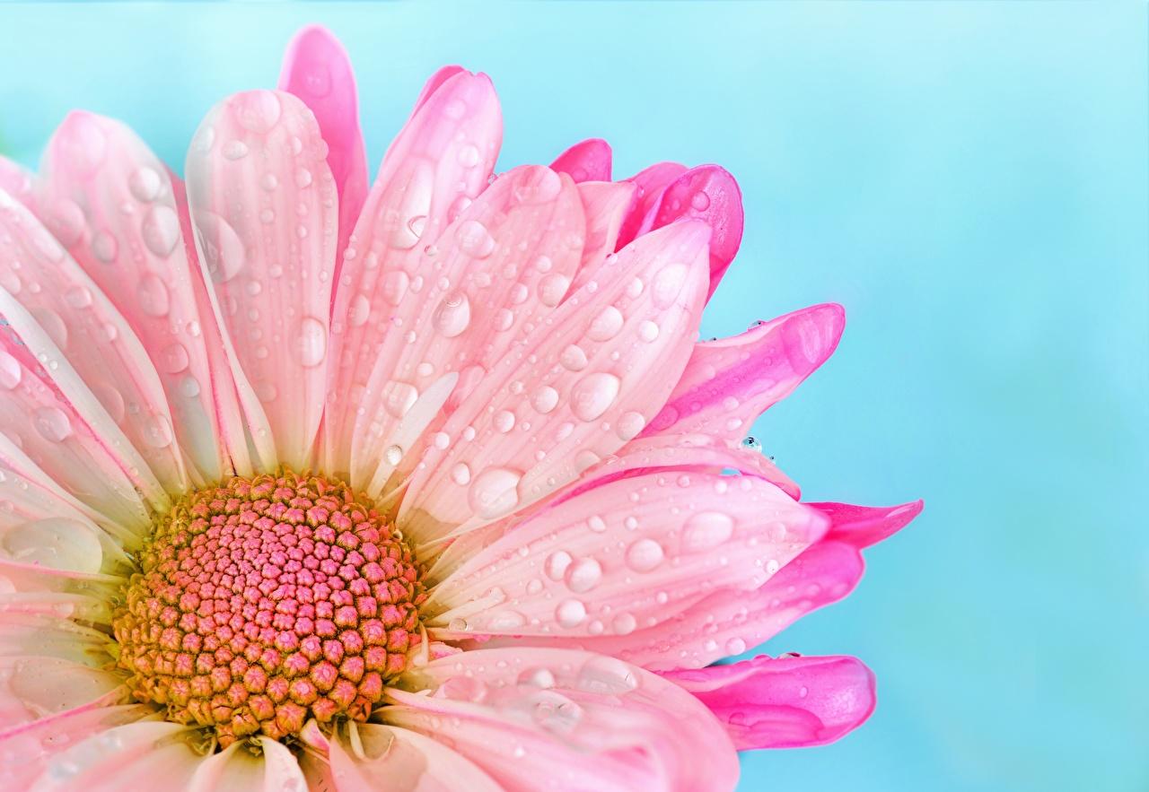 Photo Pink color Drops Bellis Flowers Closeup flower