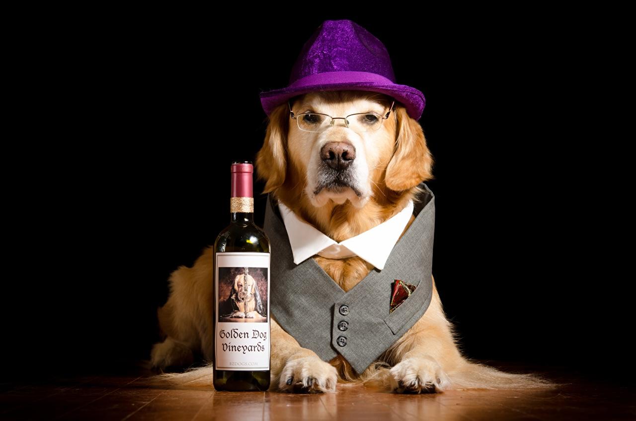 Fotos Labrador Retriever hund komische Der Hut Pfote Brille Flasche Tiere Starren Hunde Lustige lustiger lustiges flaschen Blick ein Tier