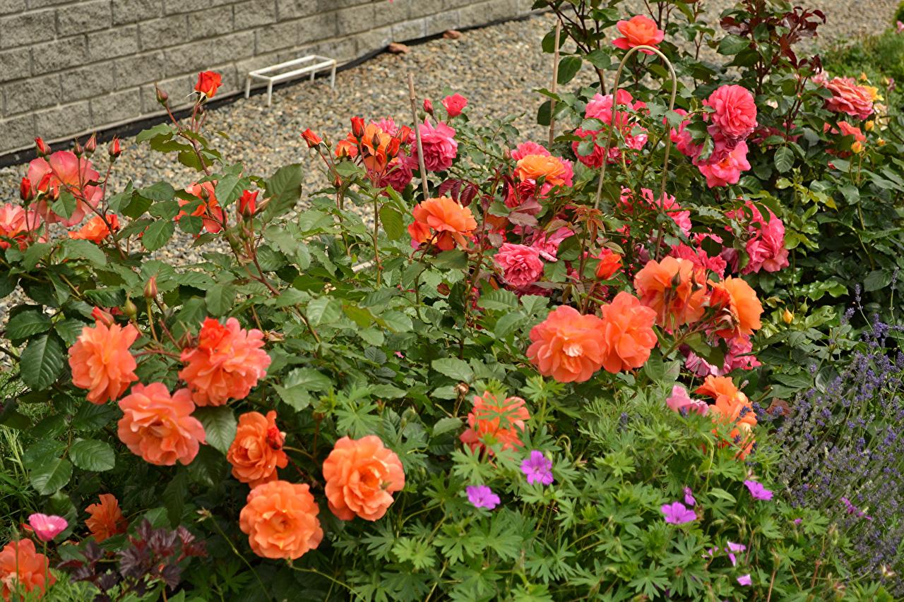 Foto Rose fiore Arbusti Bocciolo rosa Fiori Cespugli