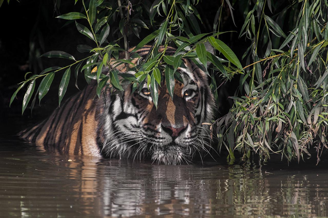 Hintergrundbilder Tiger Ast Wasser Schnauze Tiere