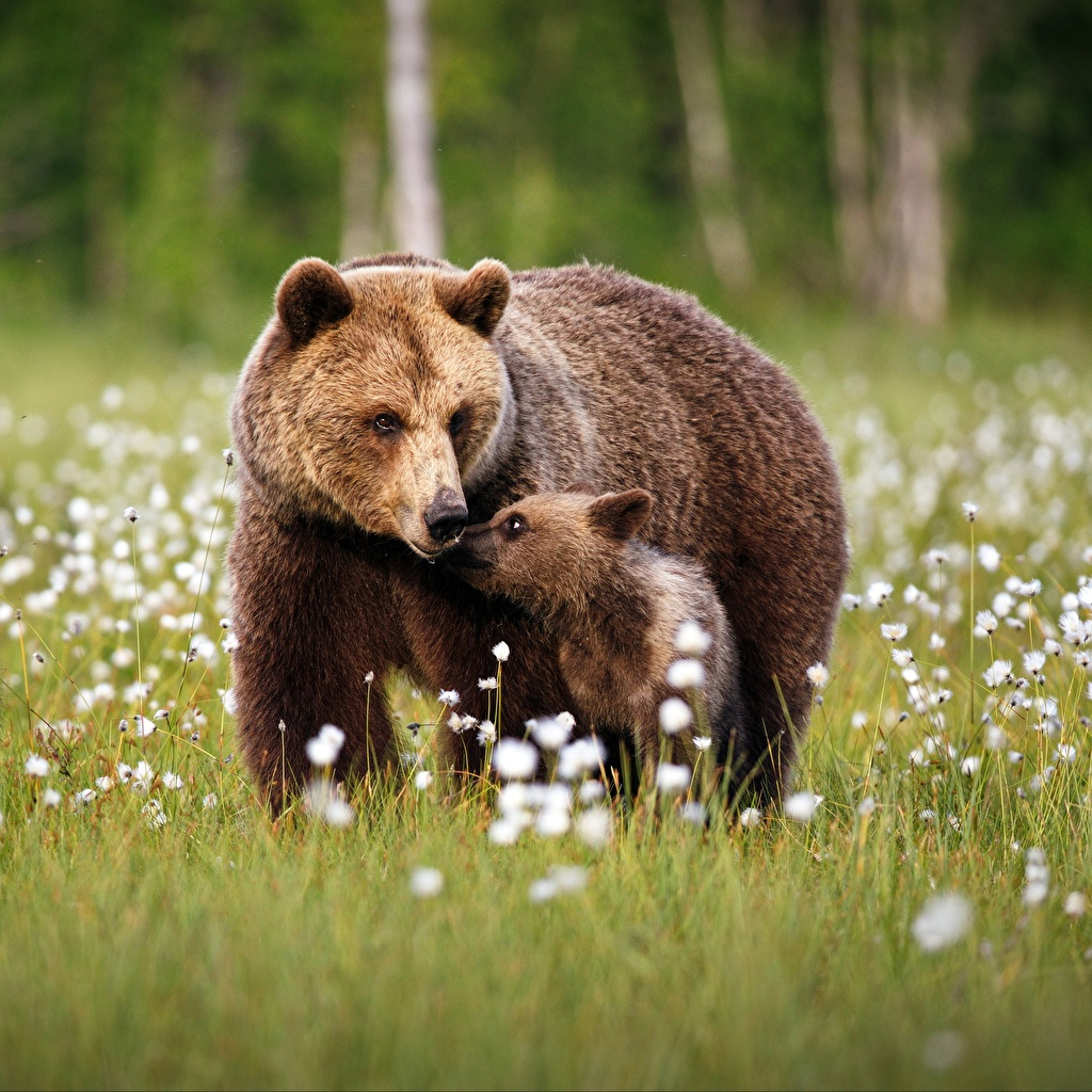 Hintergrundbilder Braunbär Bären Jungtiere Zwei Gras Tiere 2
