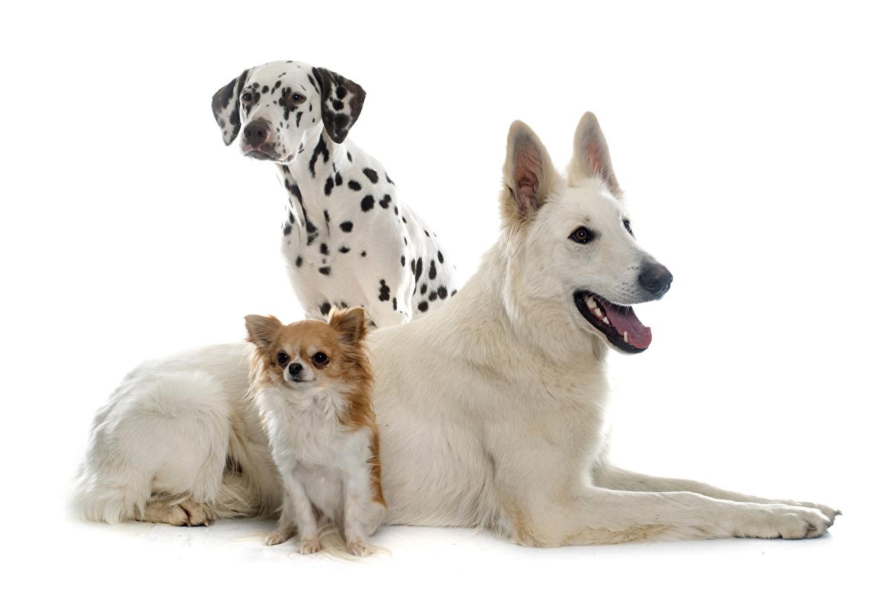 Fonds d'ecran Chien Fond blanc Trois 3 Dalmatien Chihuahua Berger Animaux  télécharger photo