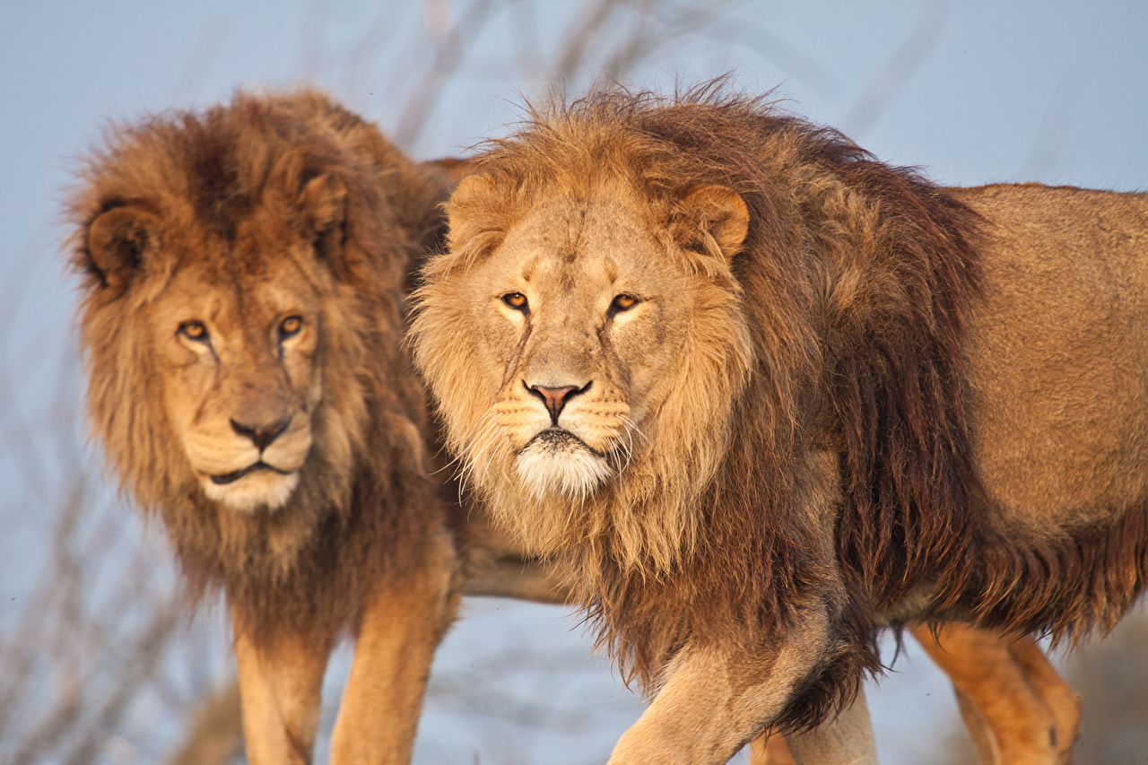 Desktop Wallpapers Lions Big cats 2 animal lion Two Animals