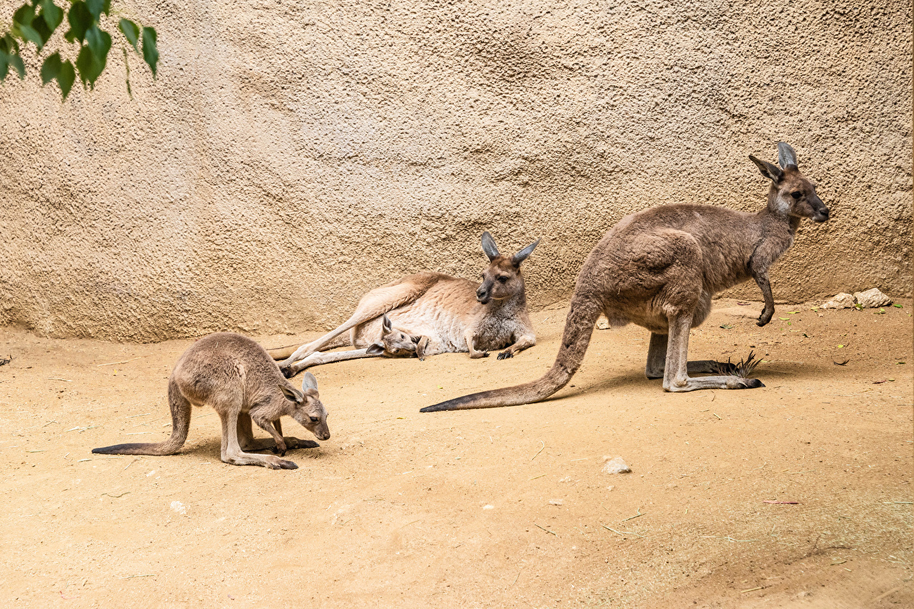 Photo Kangaroo Cubs Three 3 animal Animals