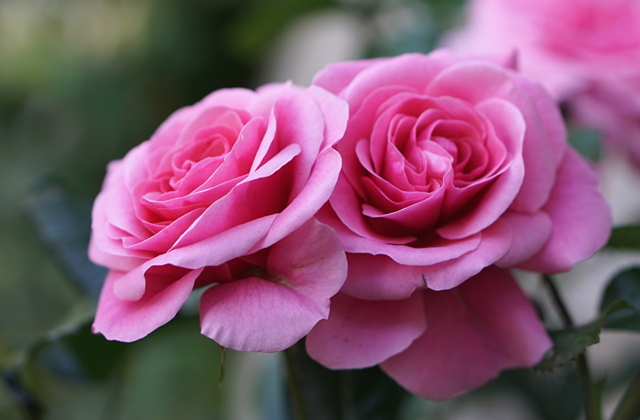 Desktop Wallpapers Two rose Pink color Flowers Closeup