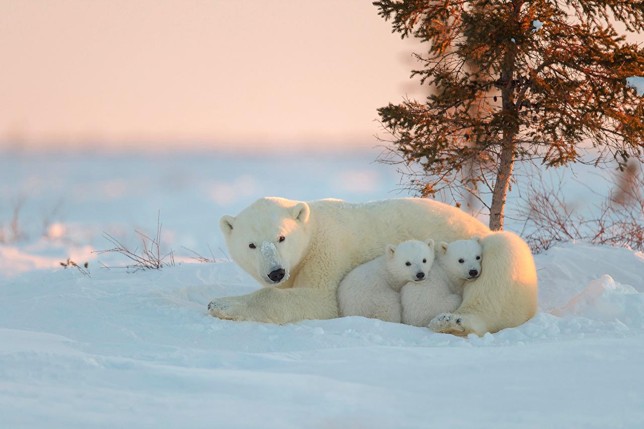 Skrivebordsbakgrunn Isbjørn Bjørner Snø Dyr bjørn