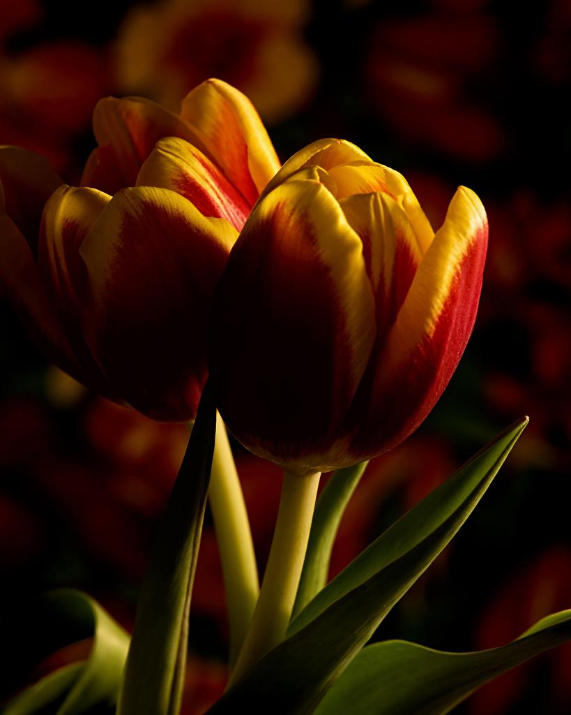Achtergrond Tulpen Twee 2 bloem Close-up  voor Mobiele telefoon tulp Bloemen van dichtbij