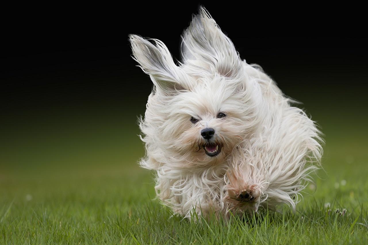 Images Havanese Bichon Dogs Run Jump Grass Glance Animals dog Running animal Staring