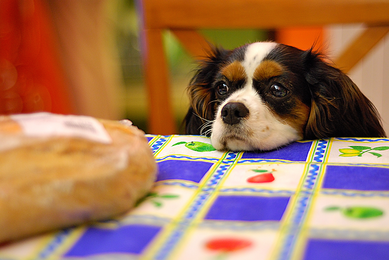 Image King Charles Spaniel Dogs Snout Table Staring Animals dog Glance animal
