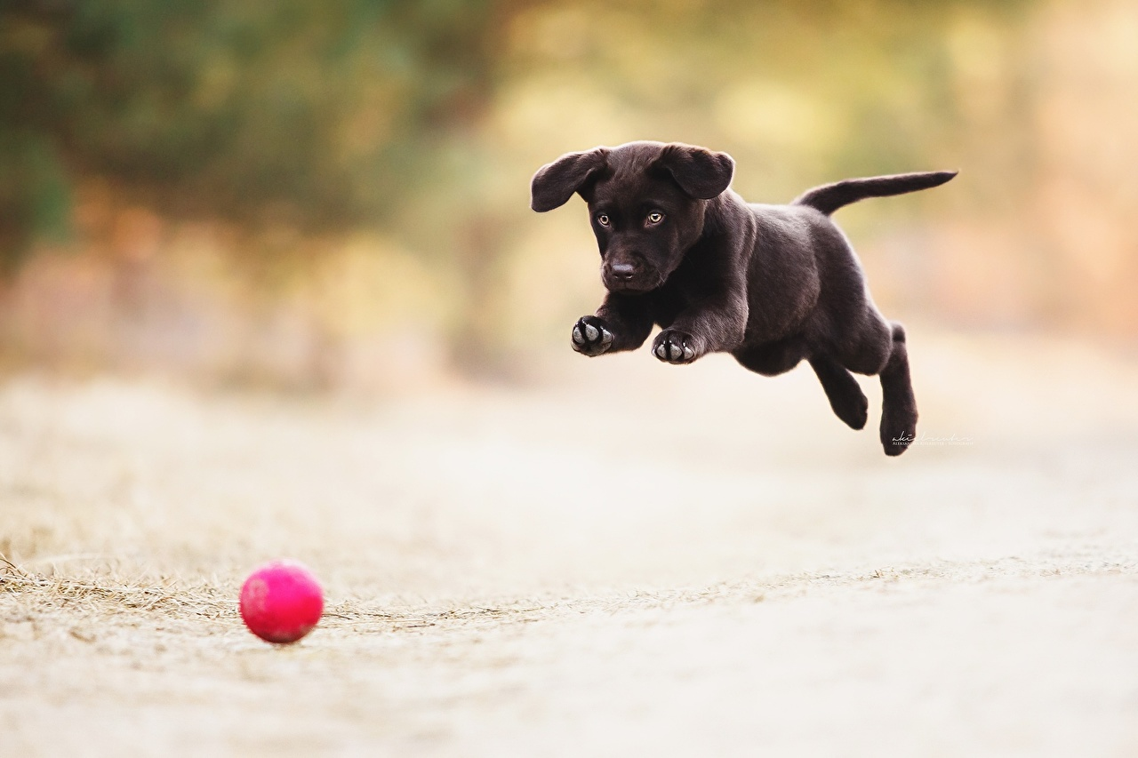 Photos puppies dog Run Playing Black Jump Ball Animals Puppy Dogs Running play animal