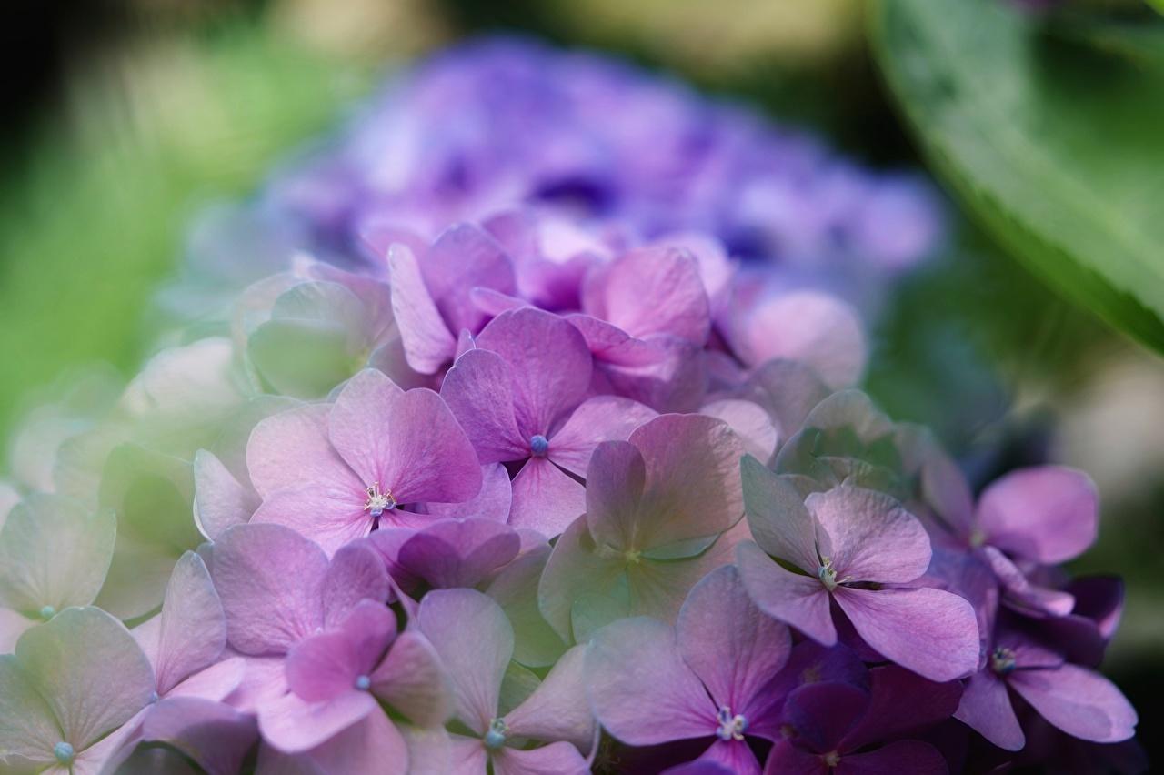 Hydrangea Bokeh Violeta color flor, hortensia, fondo borroso Flores