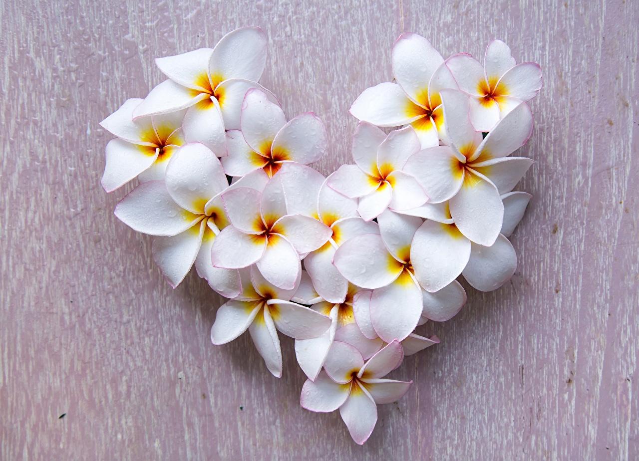 Bilder von Valentinstag Herz Weiß Blüte Frangipani Blumen
