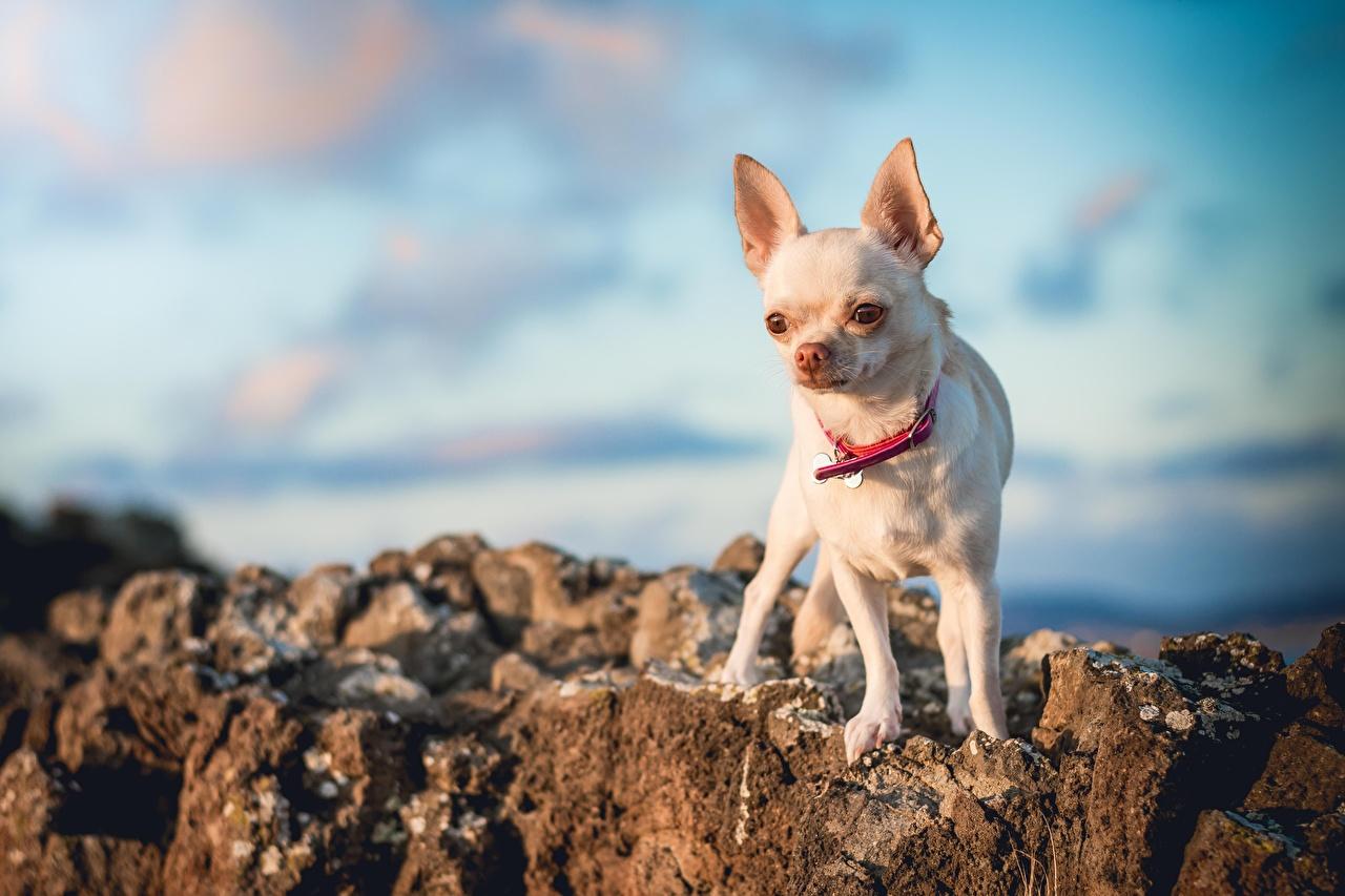 Fotos Chihuahua Hunde unscharfer Hintergrund Weiß ein Tier hund Bokeh Tiere