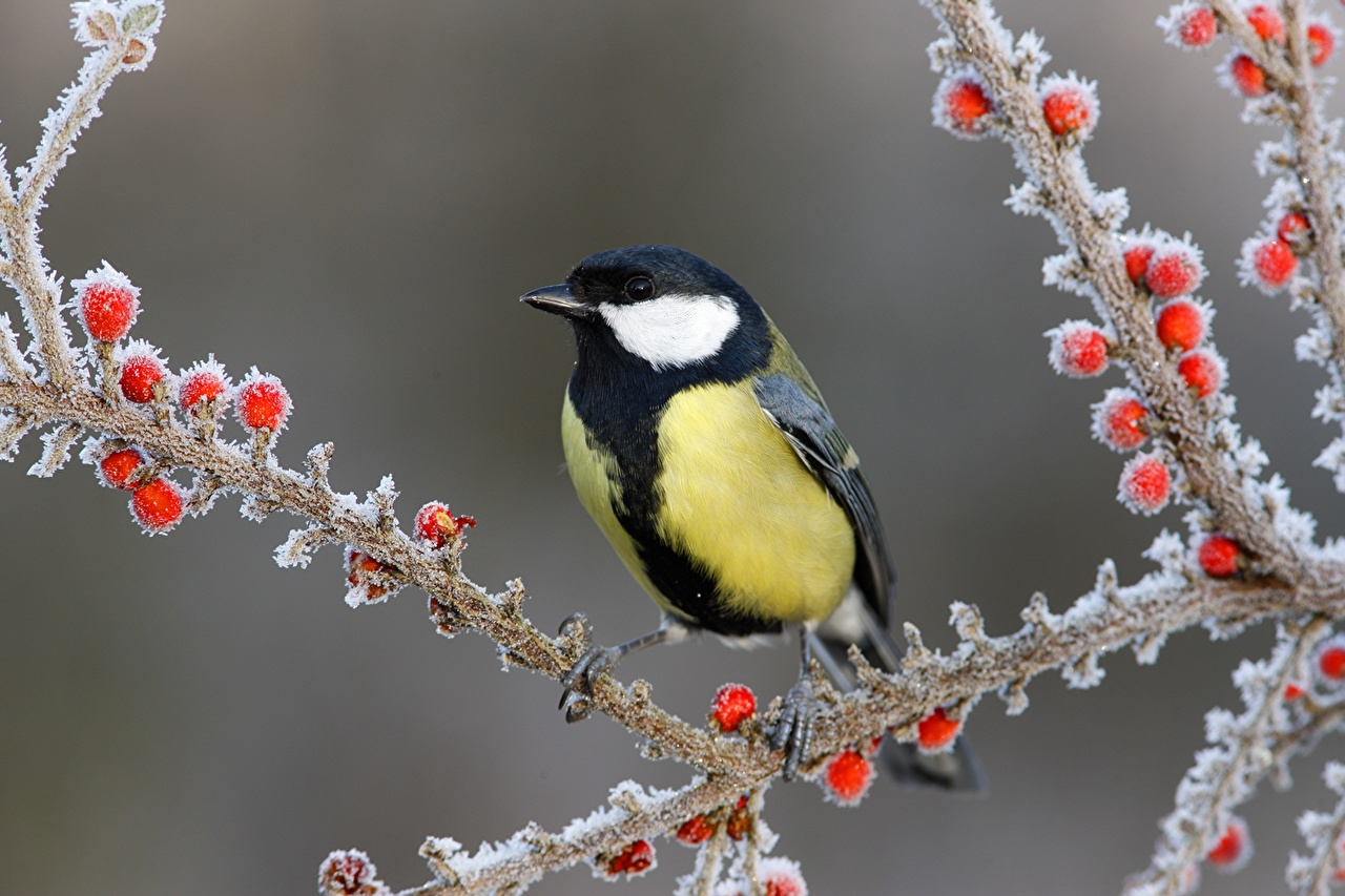 Pictures animal bird Great tit Tits Winter Ice Berry Closeup Branches Animals Birds parus