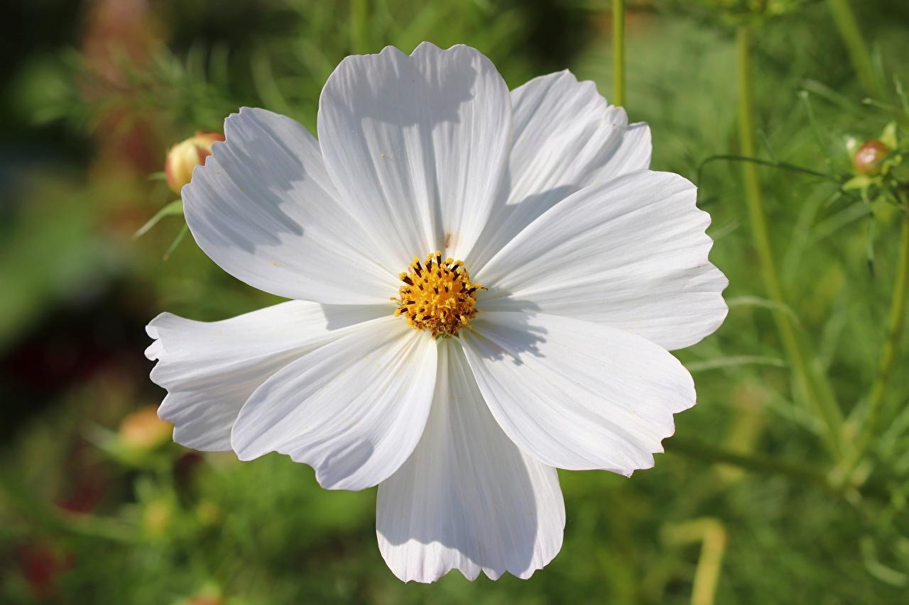 Fotos von unscharfer Hintergrund Weiß Blüte Schmuckkörbchen Nahaufnahme Bokeh Blumen Kosmeen hautnah Großansicht
