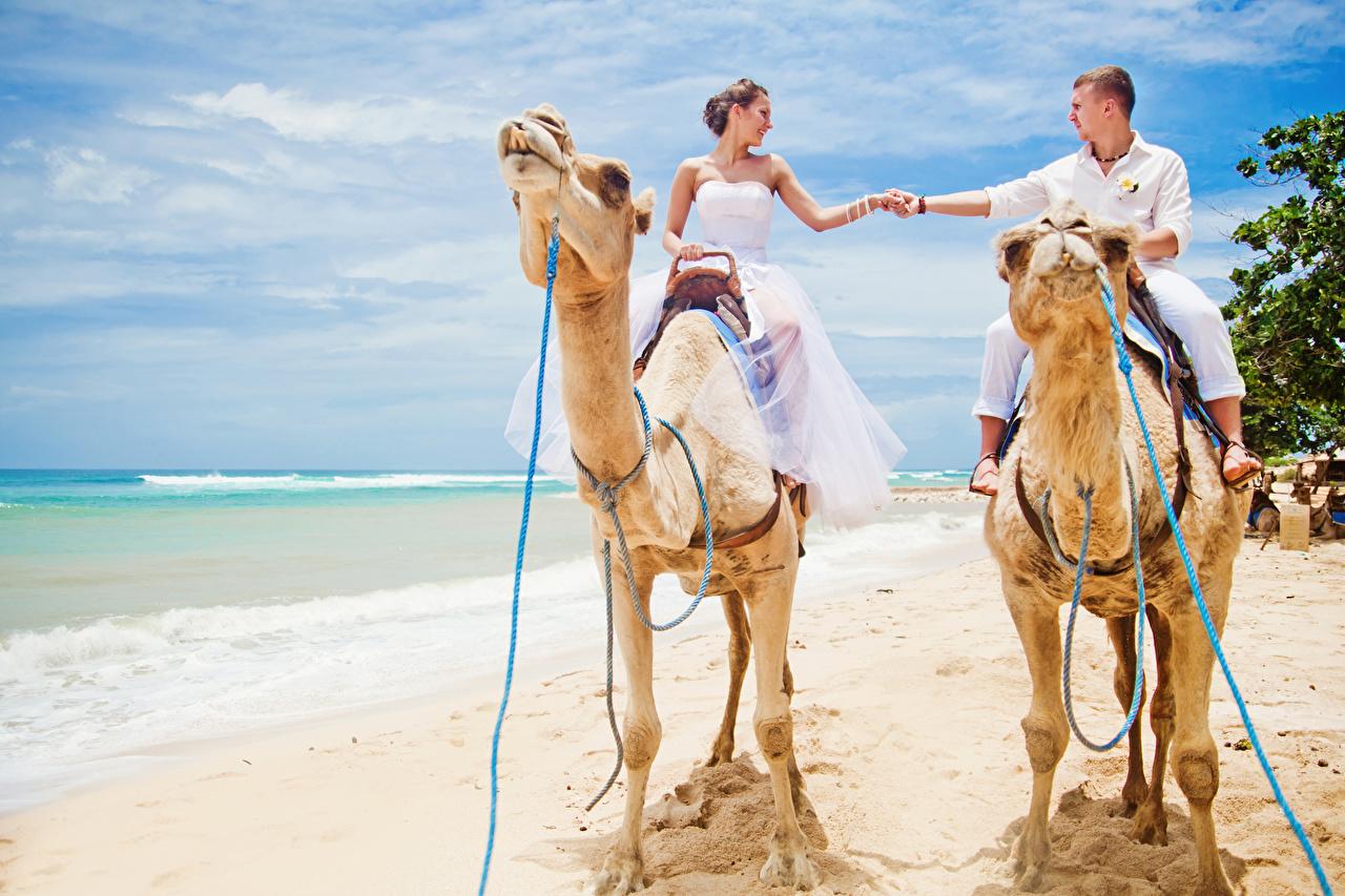 Bakgrundsbilder Kameler brudgummens brudar Bröllop en man Stränder haven Två 2 Unga kvinnor Djur kamel Brudgummen Brud Bröllopet Män Strand Havet ung kvinna