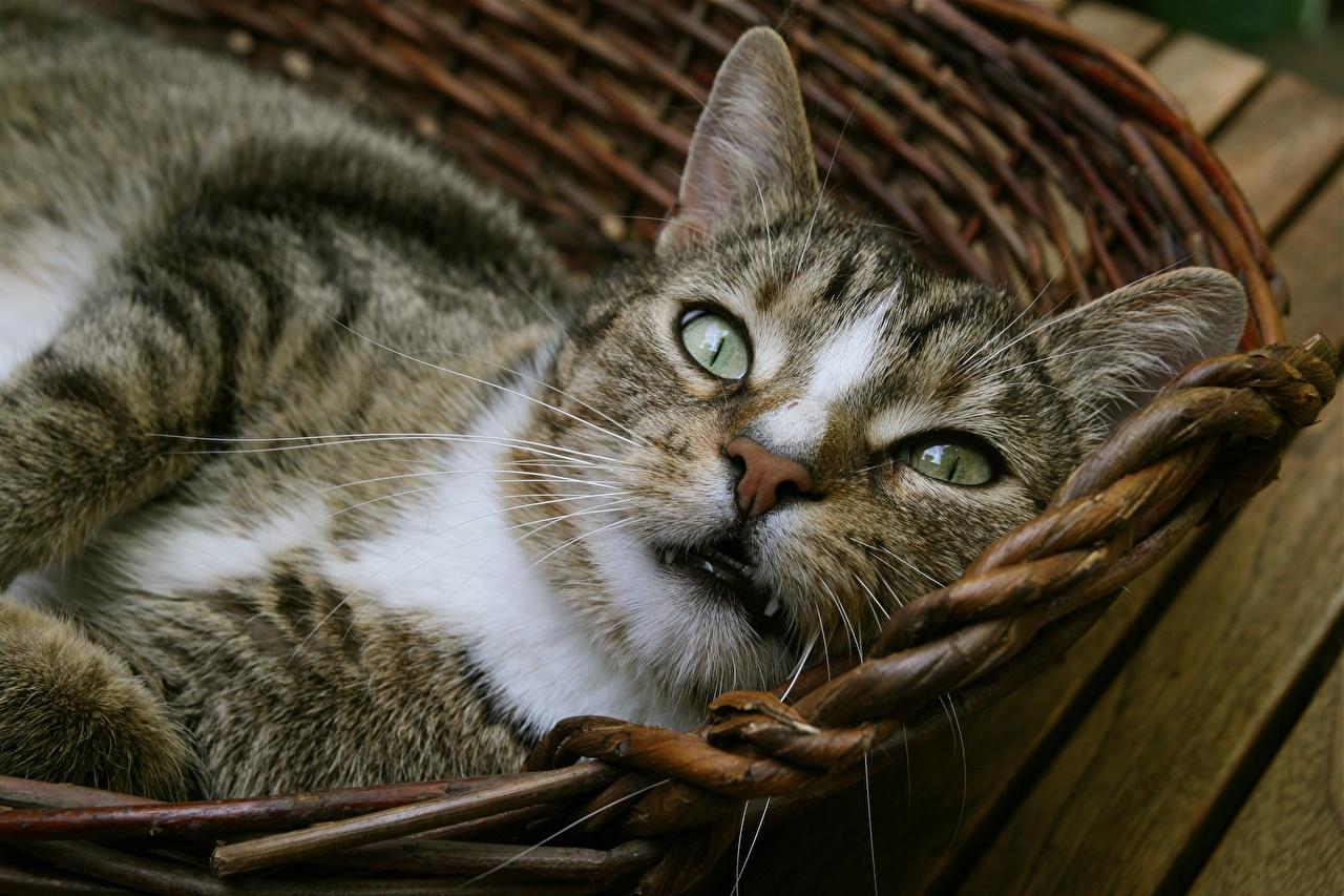 Hintergrundbilder Hauskatze Weidenkorb Schnauze Blick ein Tier Großansicht Katze Katzen Tiere Starren