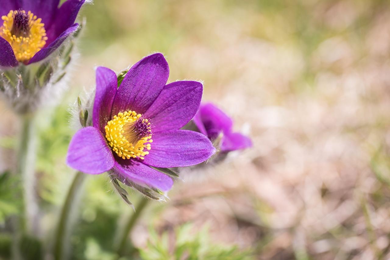 Fotos von Bokeh Violett Blüte Kuhschellen hautnah unscharfer Hintergrund Blumen Nahaufnahme Großansicht
