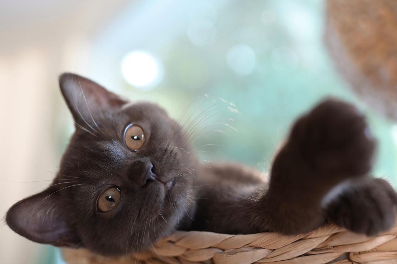 Bilder Hauskatze Bokeh Pfote Kopf Tiere Starren Katze Katzen unscharfer Hintergrund Blick ein Tier