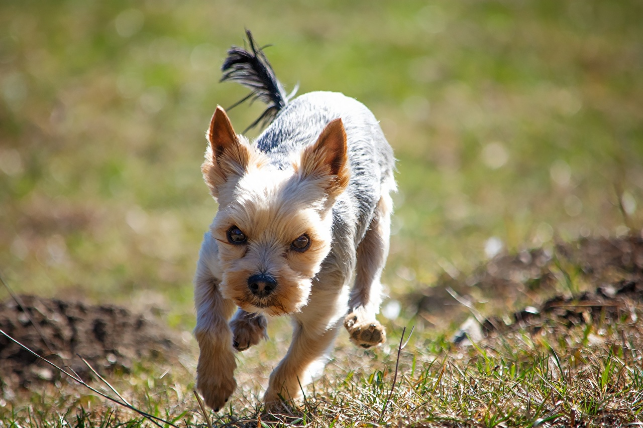 Pictures Yorkshire terrier Dogs Running Frowning Grass animal dog Run frown displeased dissatisfied Animals