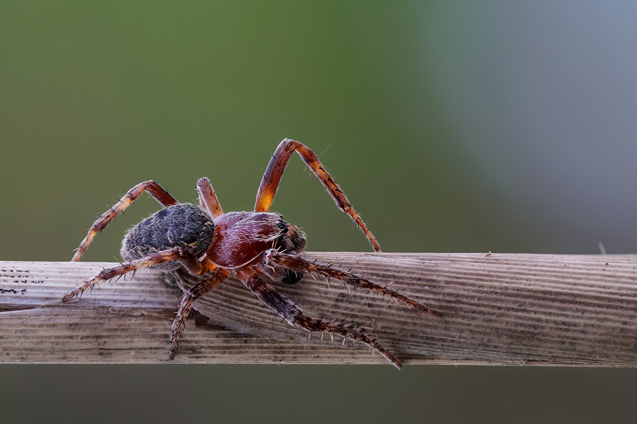 Bilder Edderkopper araneidae Leddyr Dyr Nærbilde edderkopp
