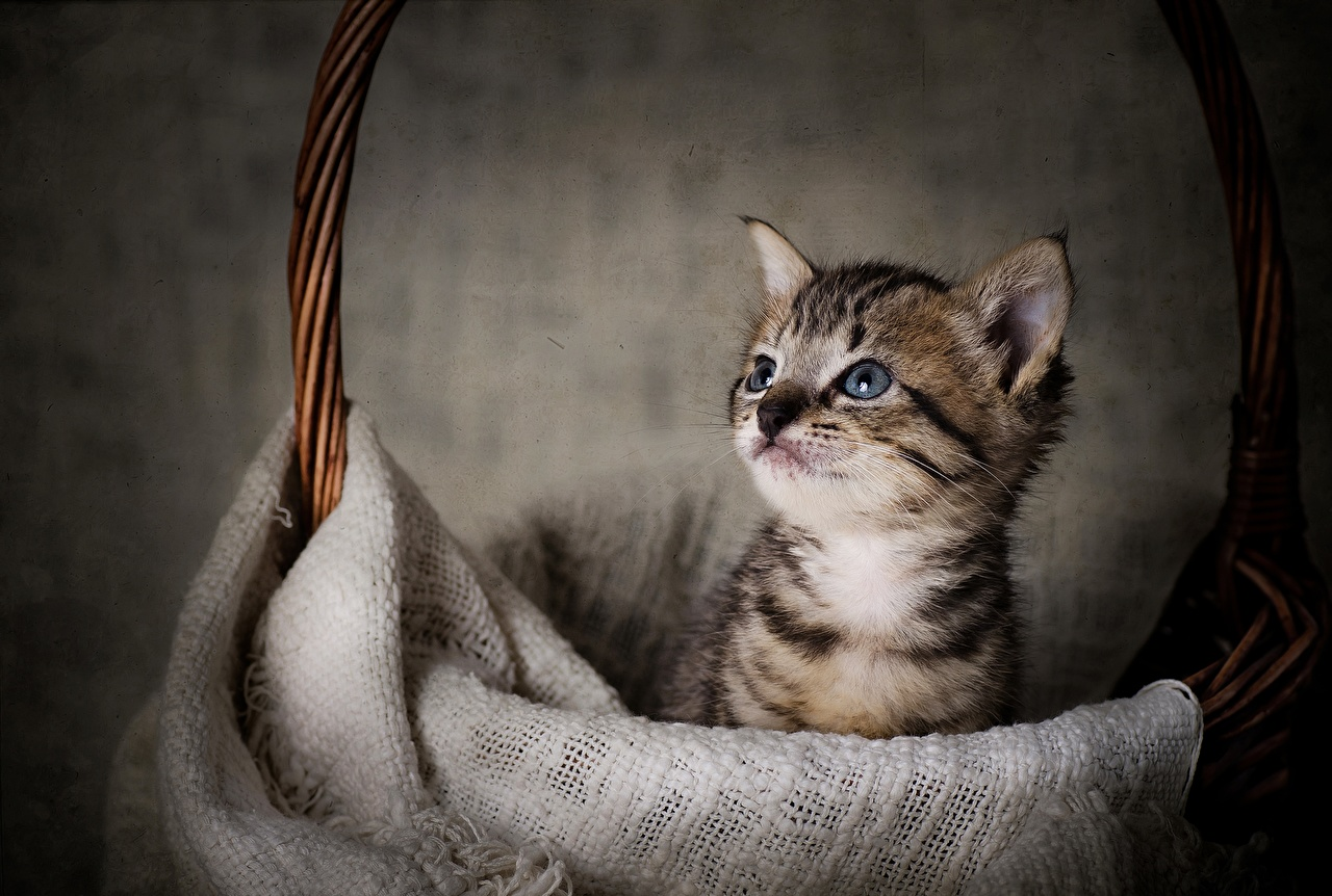 Wallpaper Kittens cat Wicker basket Glance animal kitty cat Cats Staring Animals