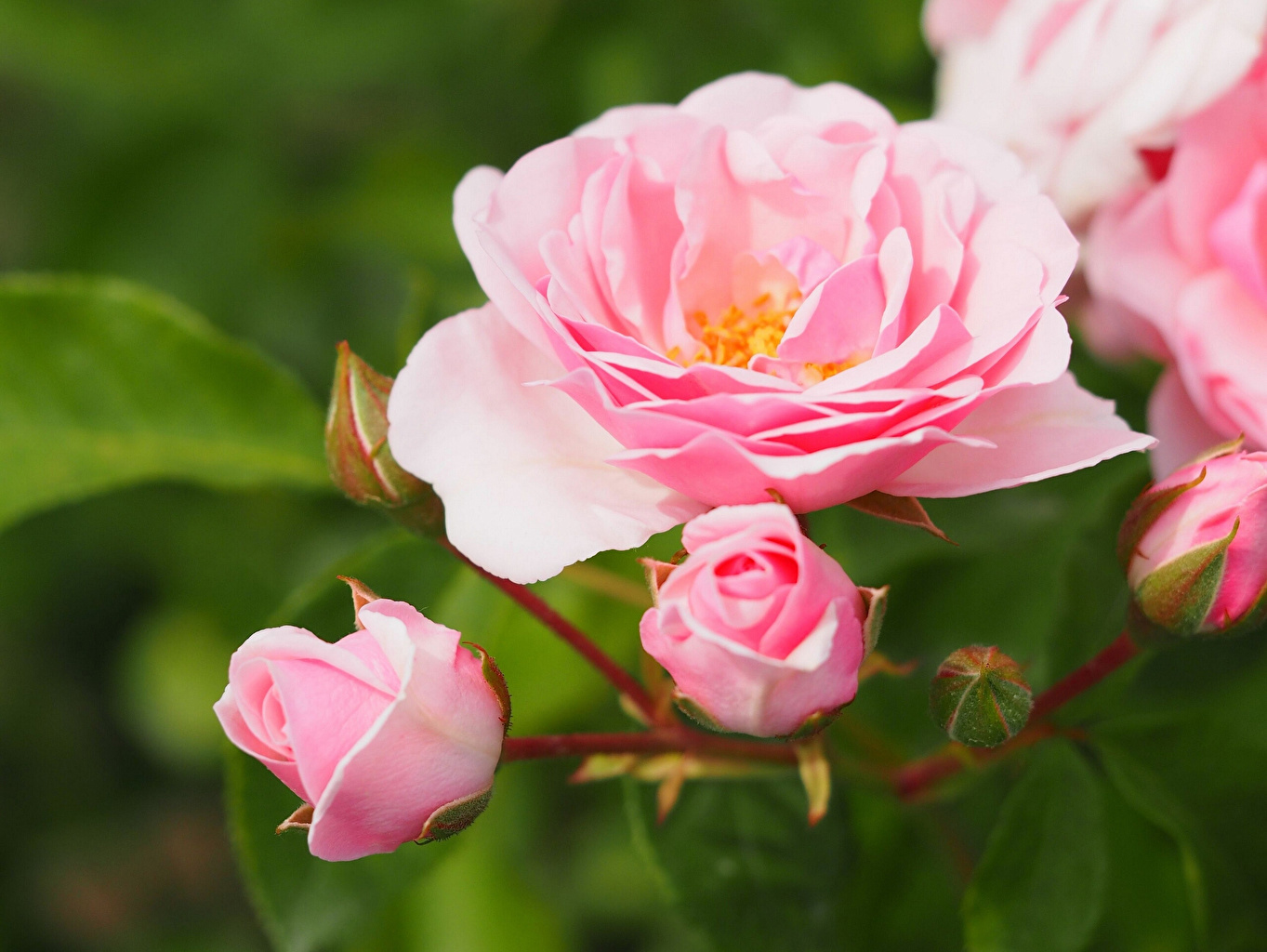 Pictures rose Pink color flower Closeup Roses Flowers